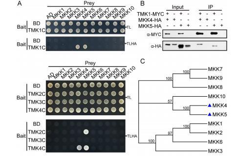 TMK和MKK特异性相互作用